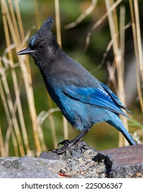 Steller's Jay perched on stone wall.