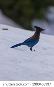 Steller's Jay in Winter