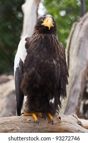 Steller's sea eagle against nature background