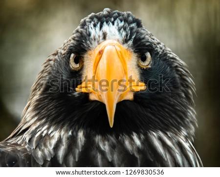 stellers-sea-eagle-close-up-450w-1269830