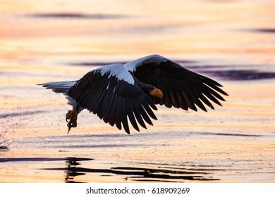 Steller's sea eagle in flight.