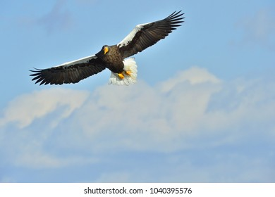 Steller's sea eagle in flight. Adult Steller's sea eagle (Haliaeetus pelagicus).