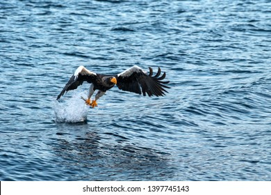 Steller's sea eagle  in flight, eagle with a fish which has been just plucked from the water in Hokkaido, Japan, eagle with a fish flies over a sea, majestic sea eagle, exotic birding in Asia