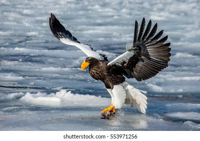 Steller's sea eagle in flight with prey on a background of the frozen sea. Japan. Hakkaydo. Shiretoko Peninsula. Shiretoko National Park .