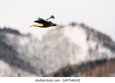 Steller's sea eagle in flight. Wild sea eagle from winter Japan, Hokkaido.