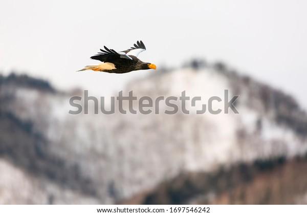 Steller's sea eagle in flight. Wild sea eagle from winter Japan, Hokkaido.