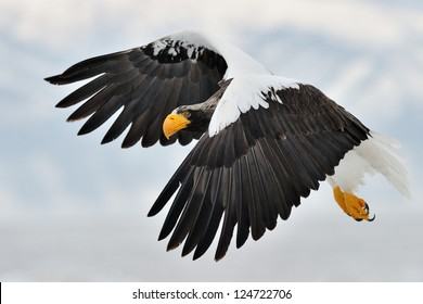 Steller's Sea Eagle flying with mountain in background..