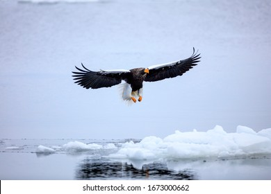 Steller's sea eagle flying over ice floe