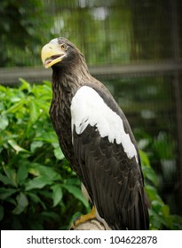 Steller's Sea Eagle (Haliaeetus pelagicus), It is the largest sea eagle in the worls, weighs about 9kg (20 pounds) and has a wingspan of about 2.4m (8ft).