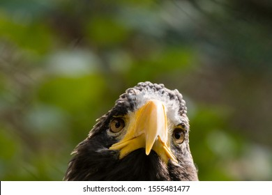 Steller's sea eagle (Haliaeetus pelagicus) looking to the camera.