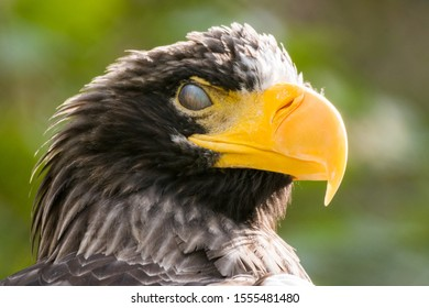 Steller's sea eagle (Haliaeetus pelagicus) with closed third eyelid