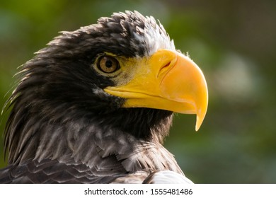 Steller's sea eagle (Haliaeetus pelagicus) head from profile