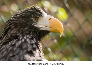 Steller's sea eagle (Haliaeetus pelagicus) in aviary.