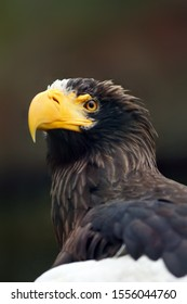 Steller's sea eagle (Haliaeetus pelagicus), portait with colorful background.