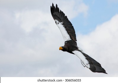 Steller's sea eagle (Haliaeetus pelagicus) in flight.
