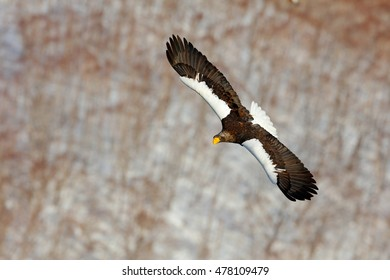 Steller's sea eagle, Haliaeetus pelagicus, flying bird of prey, with forest in background, Hokkaido, Japan. Winter scene with snow and eagle.