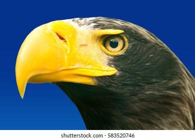 Steller's sea eagle (Haliaeetus pelagicus). Wildlife animal