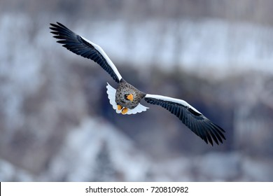 Steller's sea eagle, Haliaeetus pelagicus, flying bird of prey, with forest in background, Hokkaido, Japan. Eagle with nature mountain habitat.