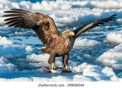 Steller's sea eagle   in Japan