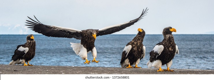 Steller's sea eagle landing.  Scientific name: Haliaeetus pelagicus. Snow covered mountains, blue sky and ocean background.  Winter Season.