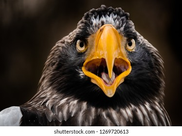 Steller's sea eagle portrait. Imposing close up portrait of Steller's sea eagle (Haliaeetus pelagicus).