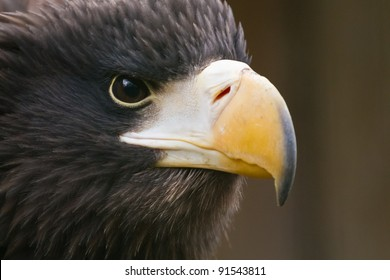 Steller's sea eagle stare close-up