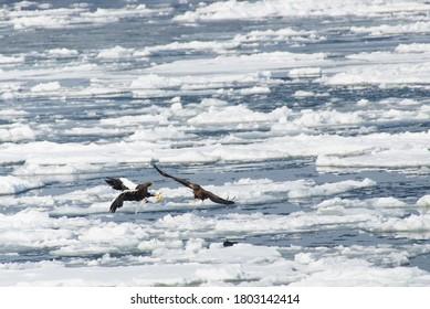 ドリフトアイスで降りるステラーの海鷲と白い尾を持つ鷲