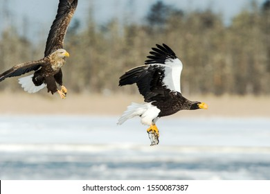 Steller's sea eagle and white-tailed eagle fighting over fish, Hokkaido, Japan, majestic sea raptors with big claws and beaks, wildlife scene from nature,birding adventure in Asia,birds in fight