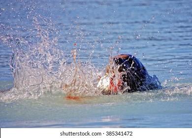Steller's sea lion eating a salmon near Valdez