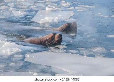 Steller's Sea Lion (Eumetopias jubatus) in harbour, Petropavlovsk-Kamchatsky, Kamchatka Peninsula, Russia