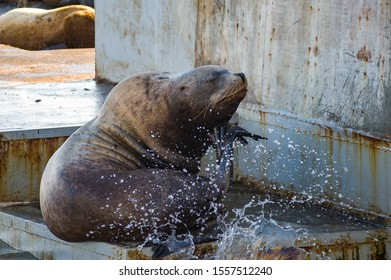Steller's sea lion sits thoughtfully at the seashore and poses