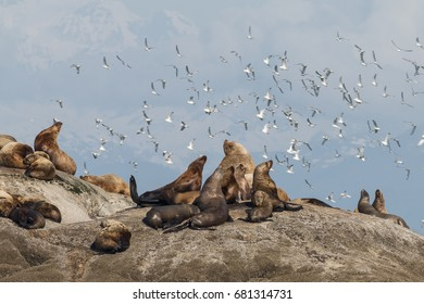 Steller's Sea Lions and Black Footed Kittiwakes