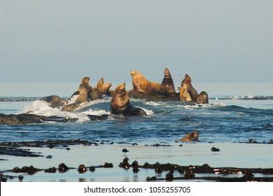 Steller's Sea Lions Eumetopias jubatus at Race Rocks, Vancouver Island near Victoria, British Columbia, Canada