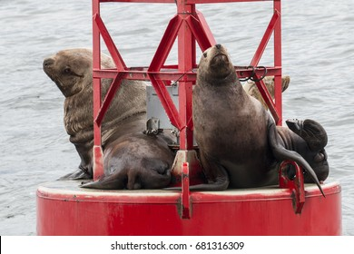Steller's Sea Lions hauled out on a buoy near Petersburg, Alaska.
