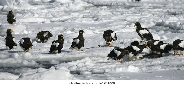 Steller's sea-eagle, Haliaeetus pelagicus, group of birds on ice flow, Japan