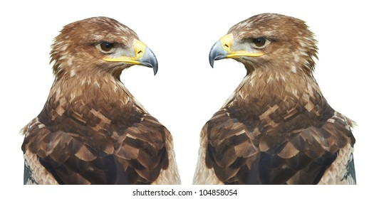 A Steller's sea-eagle (Haliaeetus pelagicus).  Portrait of two eastern eagle on a white background.