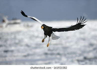 Steller's sea-eagle, Haliaeetus pelagicus, single bird in flight, Japan