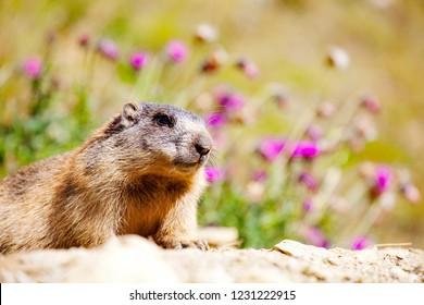 Stelvio National Park - Marmot