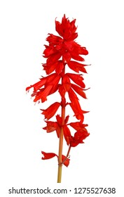 Stem of annual, red salvia flowers (Salvia splendens) isolated against a white background