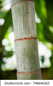 The stem of the betel palm.