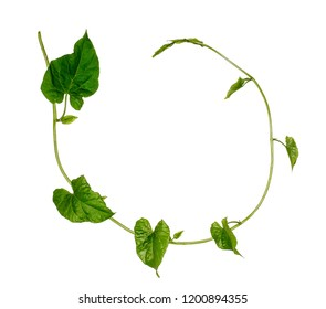 The stem of the bindweed. Green grass vine. Green ring