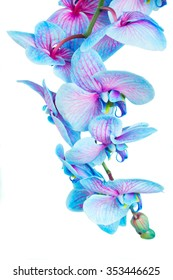 stem of blue orchid flowers isolated on white background