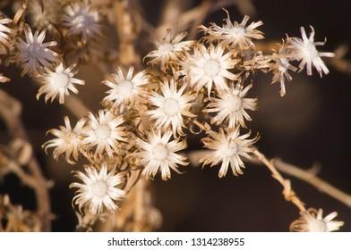 Stem dried Asteraceae Nebraska wild flower in winter sunlight.