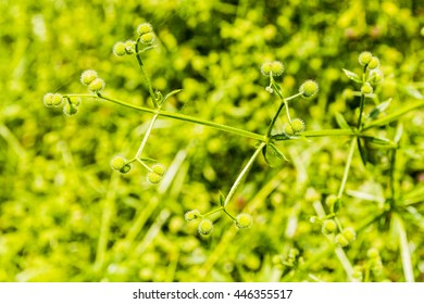 Stem of green fruit plants Galium aparine L..