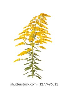 Stem with leaves and yellow flowers of goldenrod (probably Solidago canadensis or S. altissima) isolated against a white background