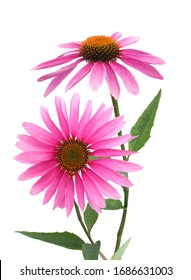 A stem pink echinacea coneflower isolated on white with clipping path included