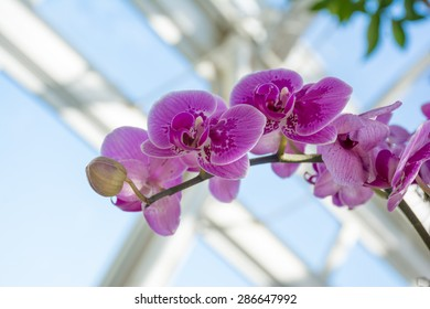 Stem of pink and white orchids at the orchid show in New York botanical garden in Bronx, New York