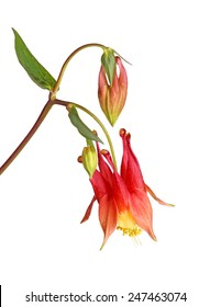 Stem with a single nodding red and yellow flower of wild (eastern red or Canadian) columbine (Aquilegia canadensis) and developing buds isolated against a white background