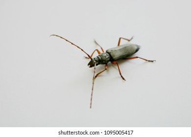 Stem-boring grub, Plocaederus obesus Gahan, Coleoptera, Cerambycidae.