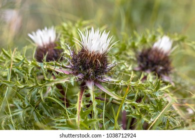 Stemless carline thistle (Carlina Acaulis) or silver thistle flowers
